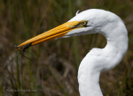 Great egret with lizard