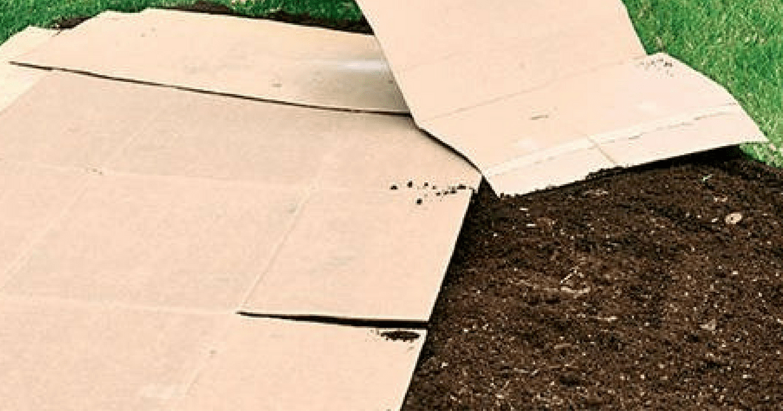 cover grass with cardboard