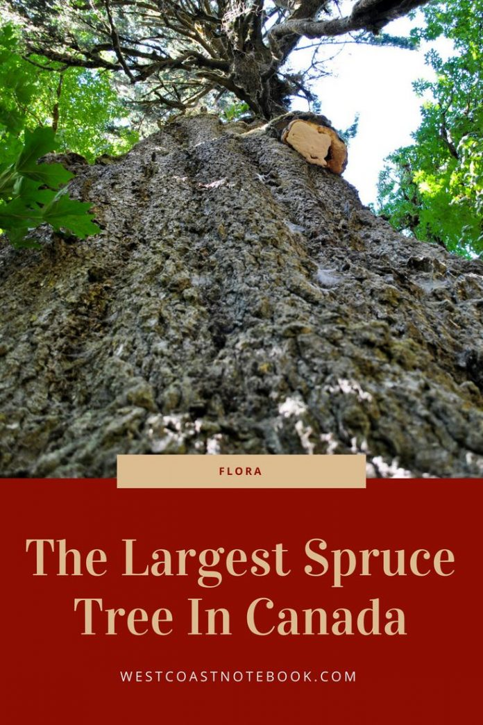 The Largest Spruce Tree In Canada