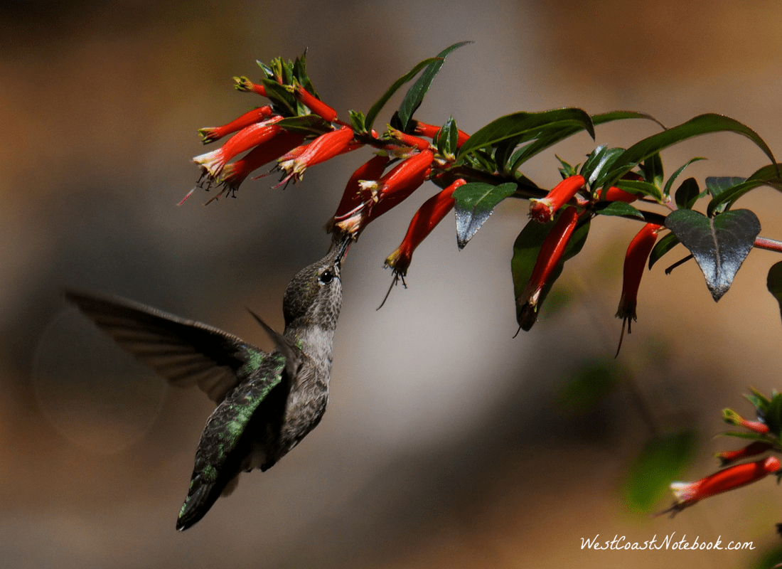 Anna's hummingbird drinking from a Vermillionaire Cuphea