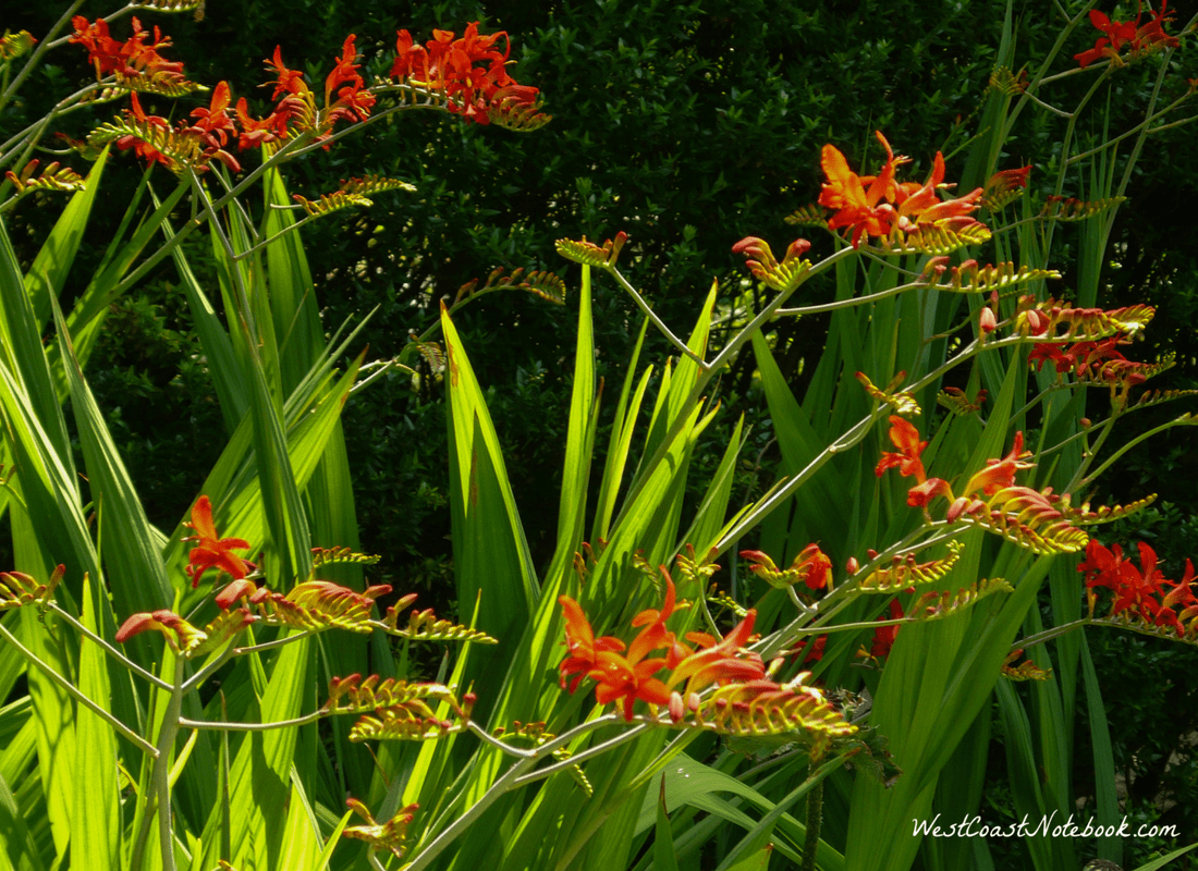 Crocosmia Lucifer plants