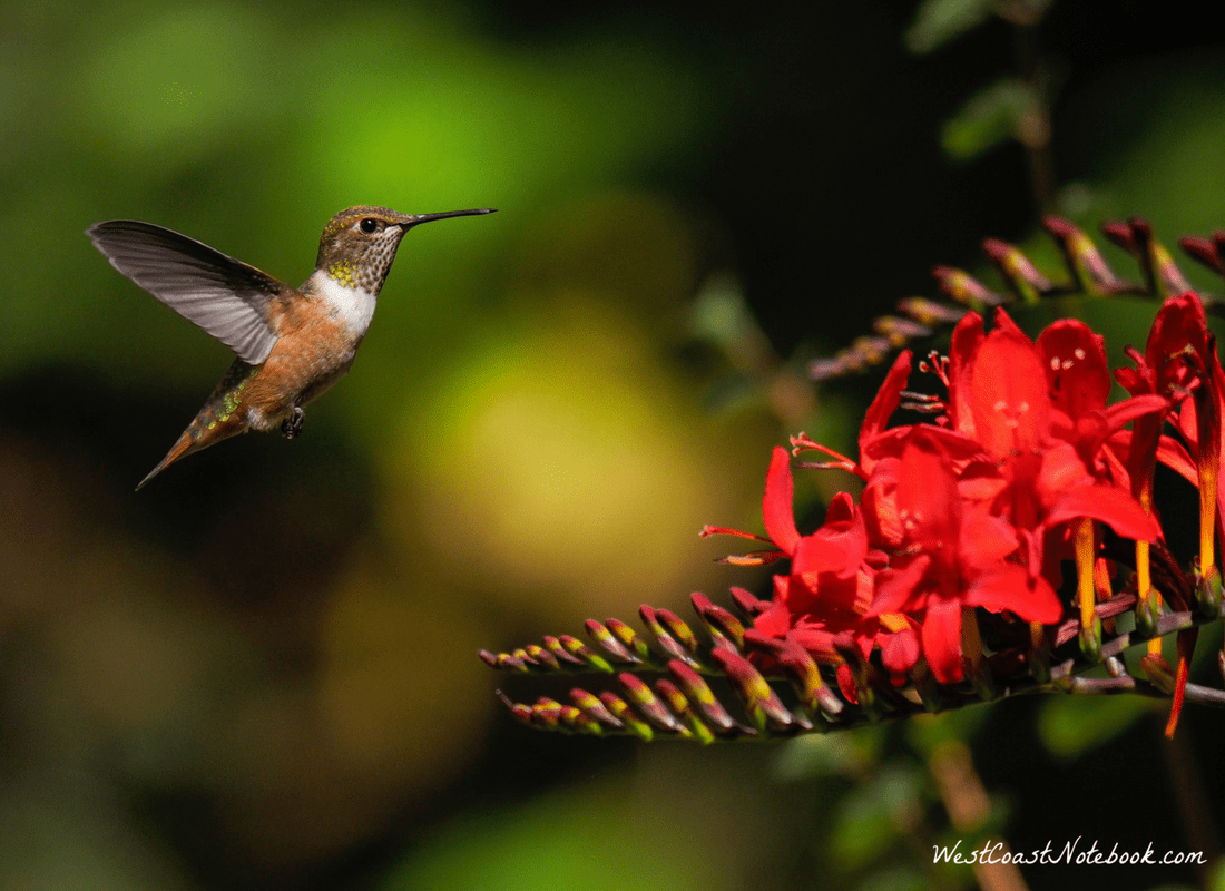 Rufous hummingbird going to Crocosmia