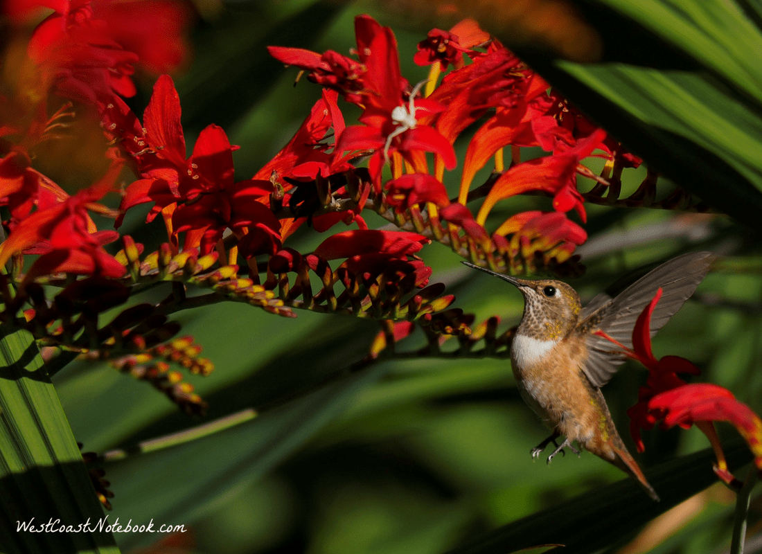 Rufous hummingbird going to drink on Crocosmia Lucifer