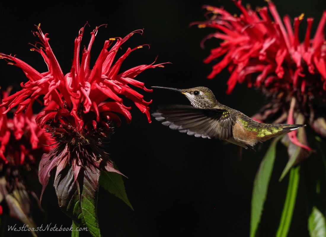 Rufous hummingbird on bee balm