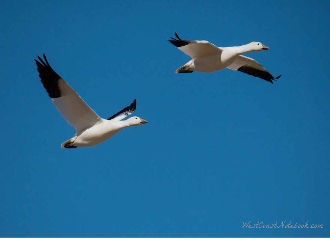 2 Snow geese flying