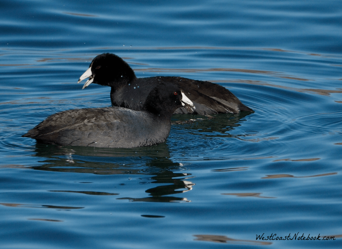 American coots on Colorado River