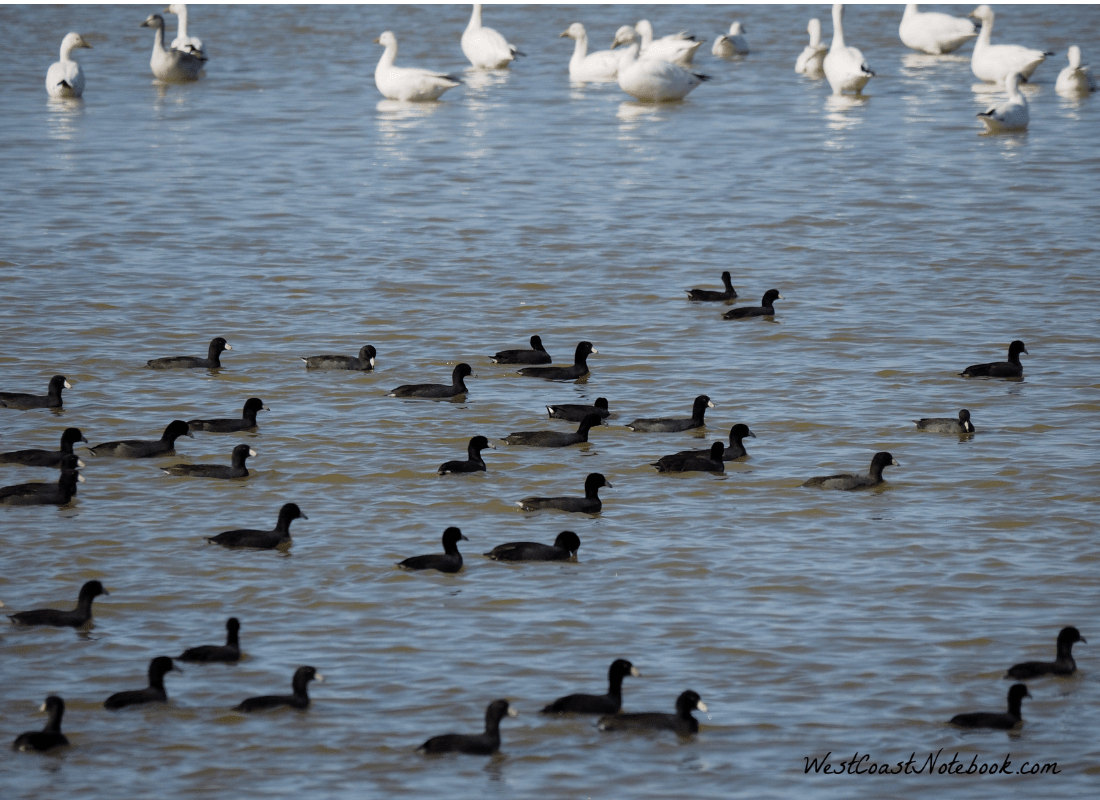 American coots with snow geese