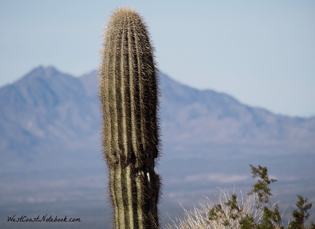 Saguaro in Palm Canyon