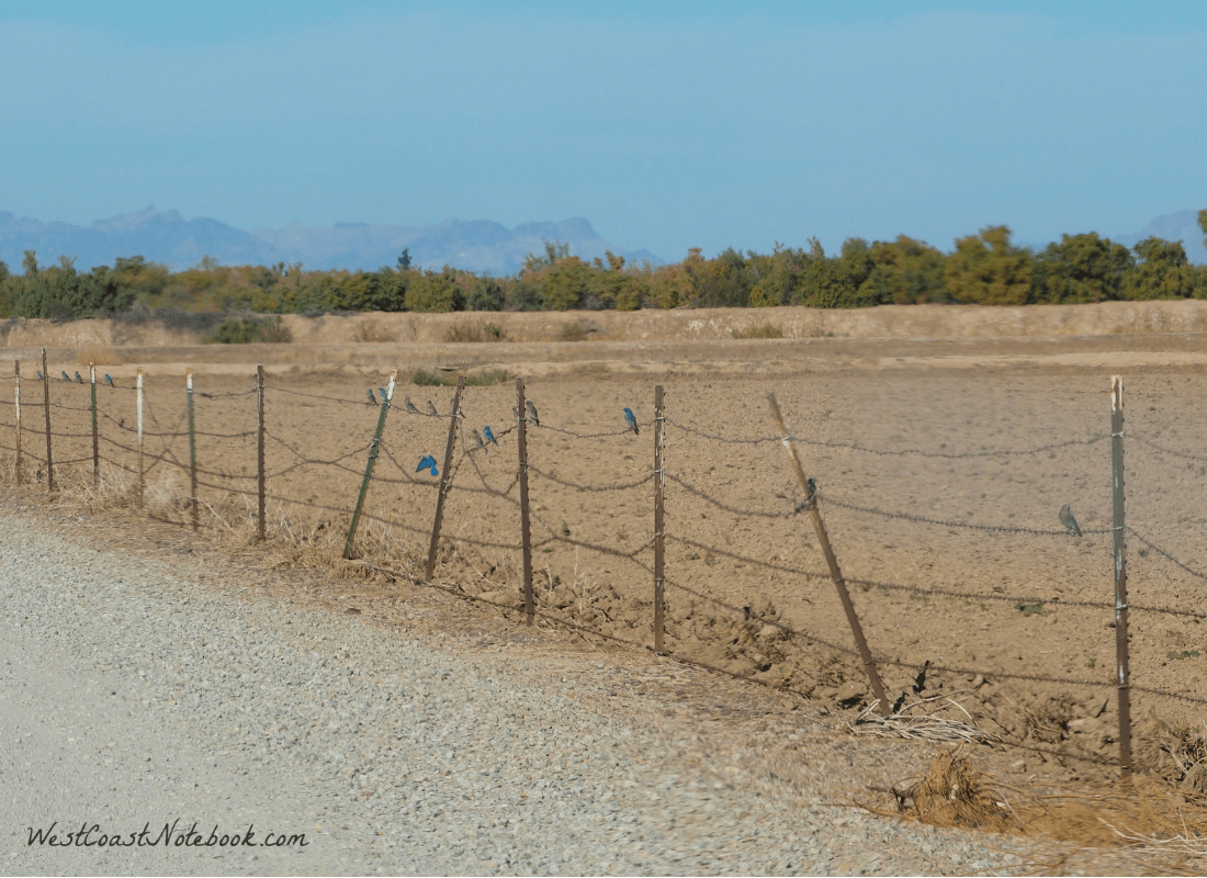 Western bluebirds on fence line