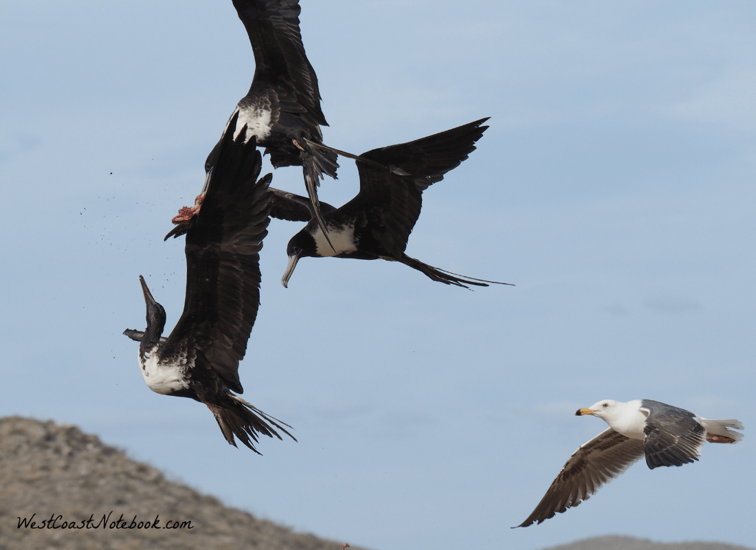 3 Magnificent Frigatebird breaking apart