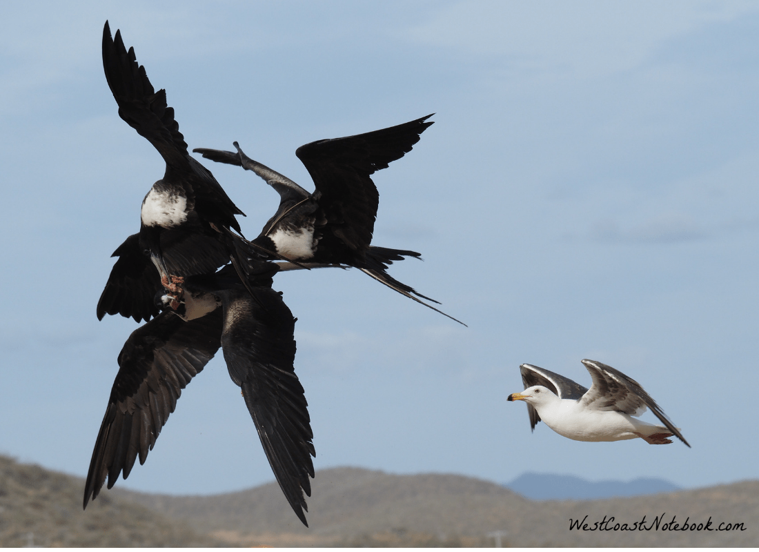 3 Magnificent Frigatebird fighting over food