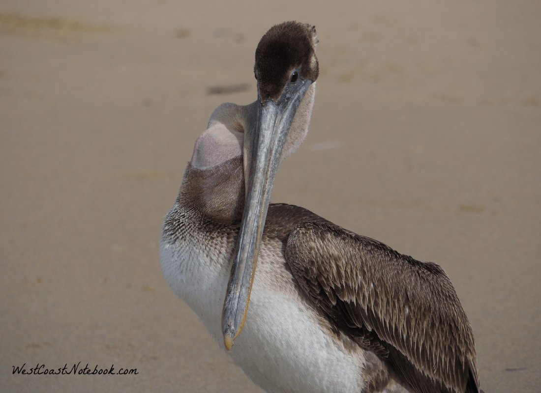Brown Pelican eating a fish that was too big to swallow