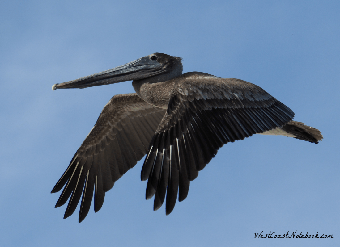 Brown pelican doing a flyby