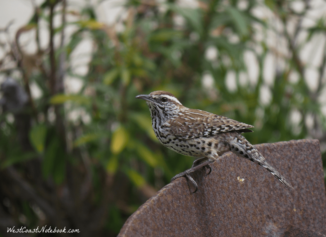 Cactus wren waiting for breakfast
