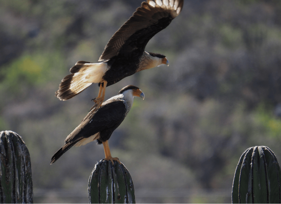 Caracara taking flight