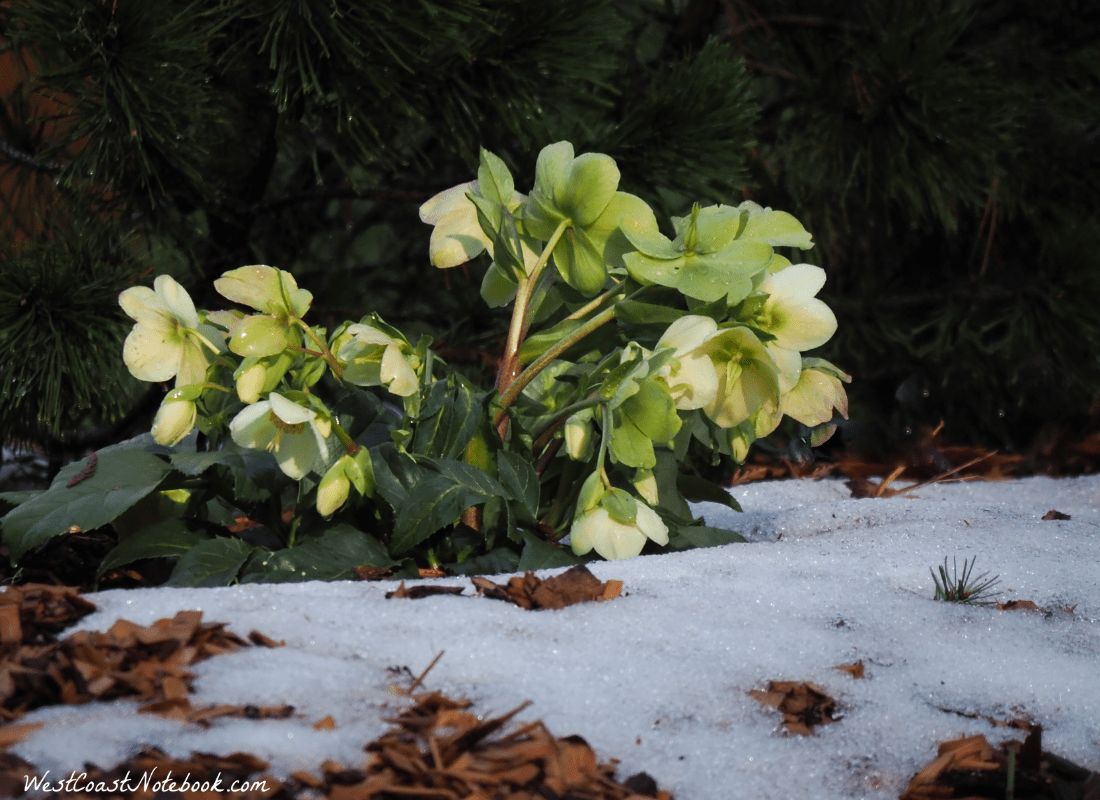 Christmas rose awaiting our arrival home