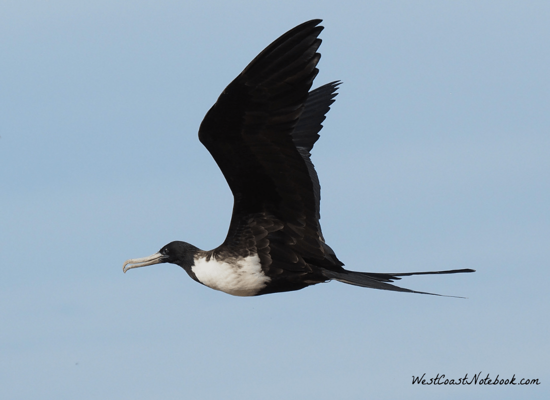 Magnificent Frigatebird flying