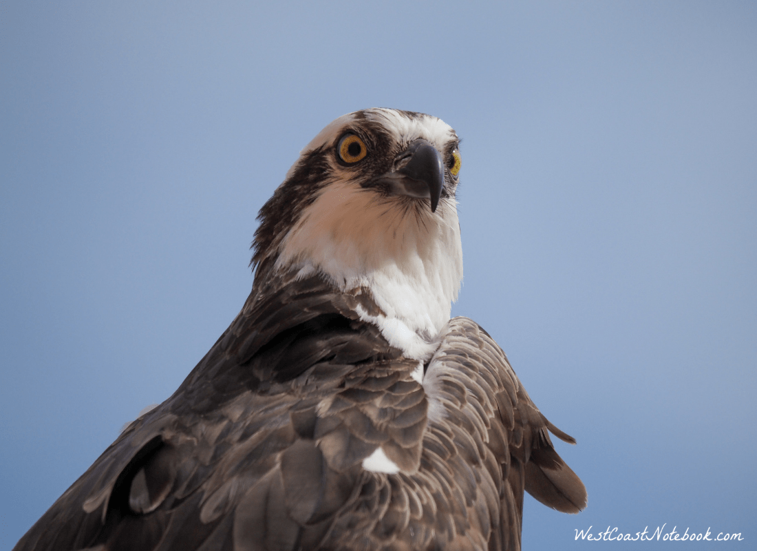 Osprey - here's looking at ya