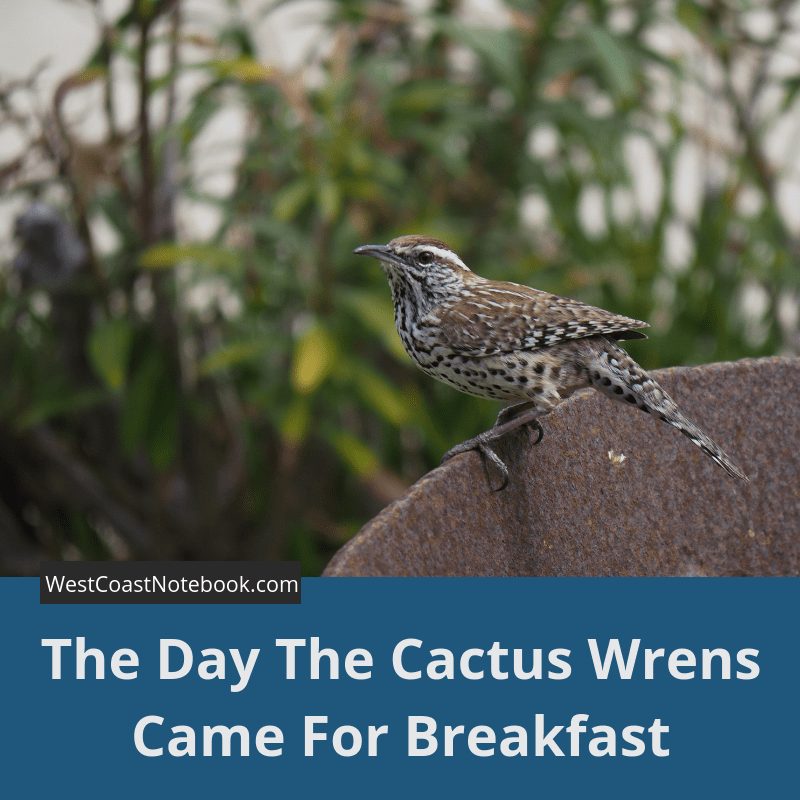 The Day The Cactus Wrens Came For Breakfast