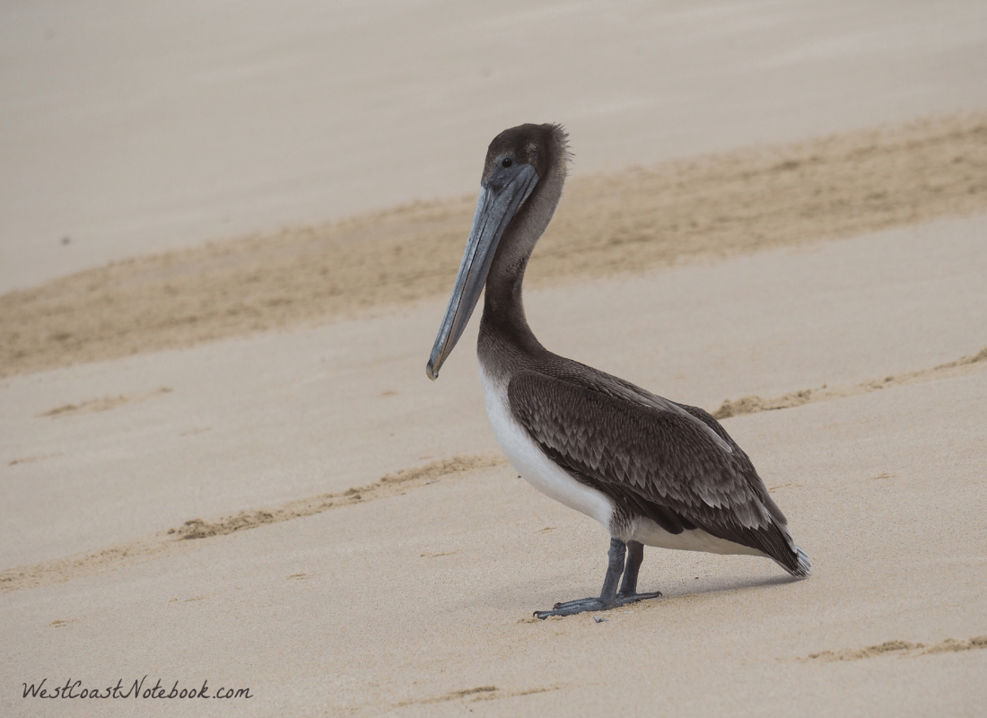 brown pelican on beach