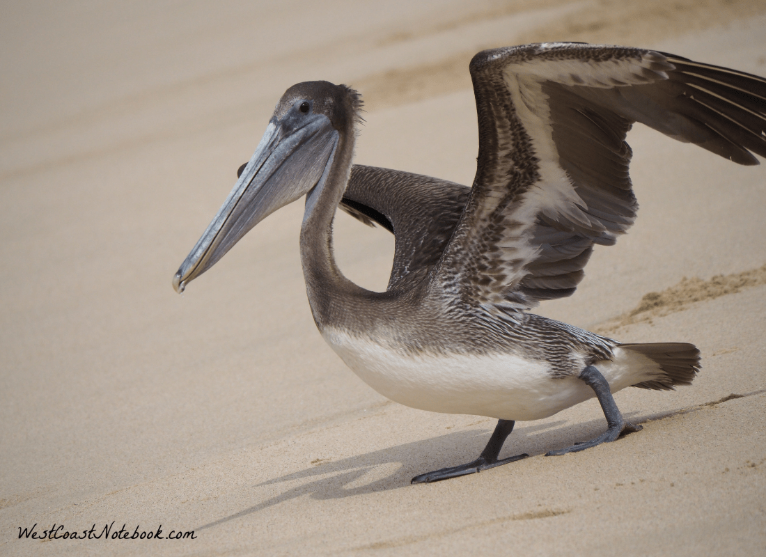 brown pelican ready for take off