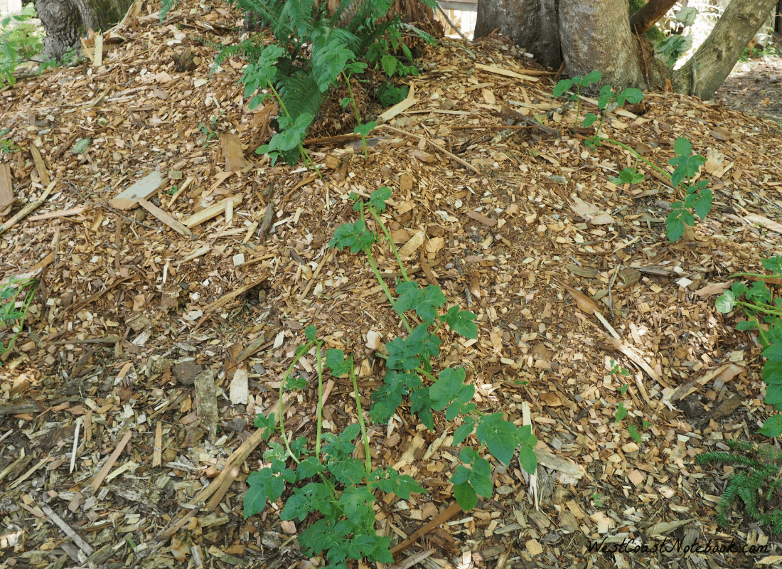 growing potatoes in a forest garden