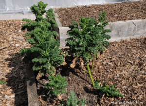 overwintered kale