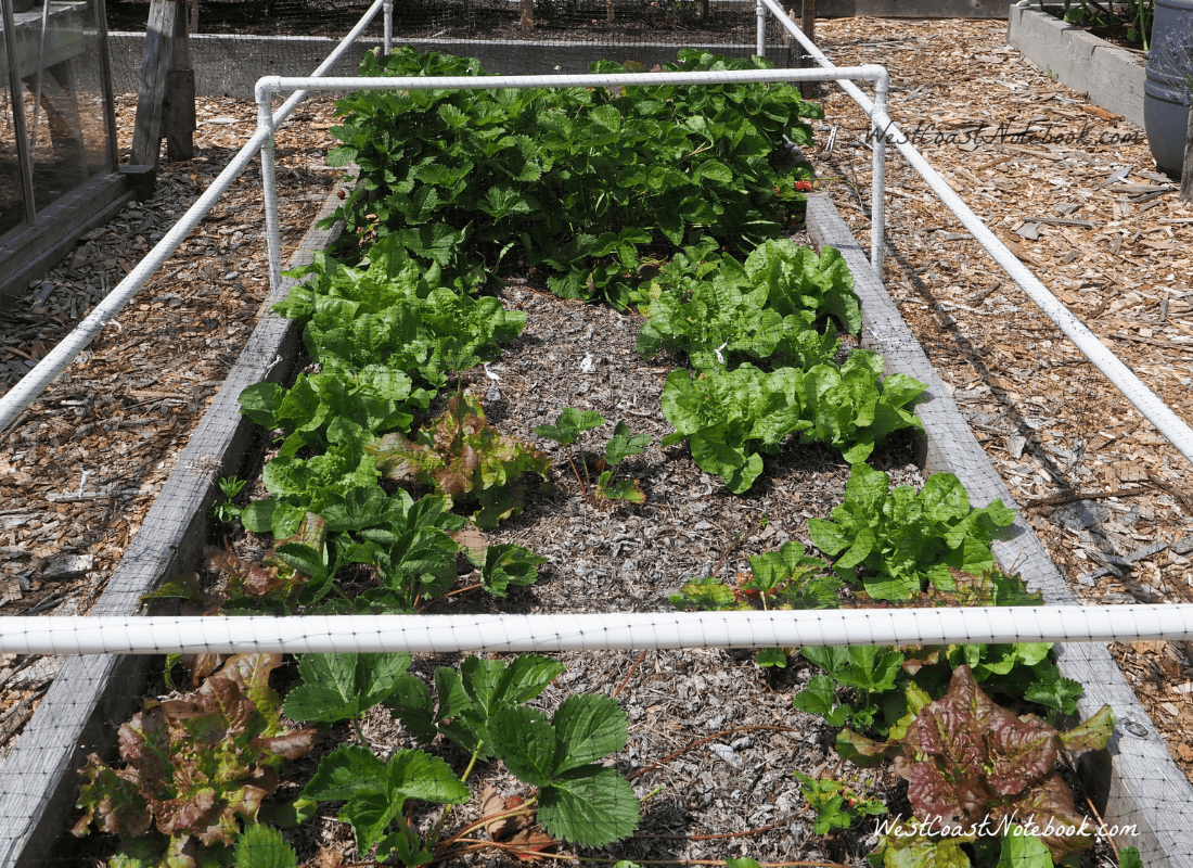 Strawberries and lettuce in raised garden bed