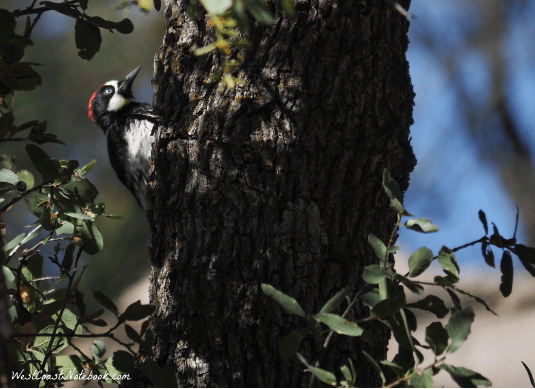 Acorn woodpecker peaking around a tree