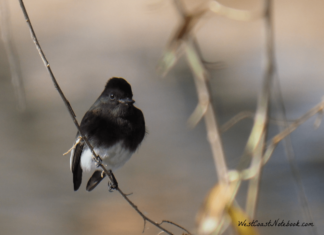 Black phoebe resting on branch