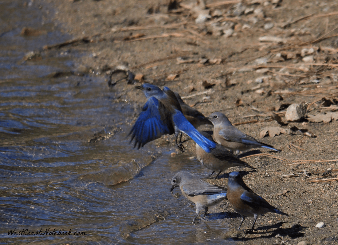 Male western bluebird in flight
