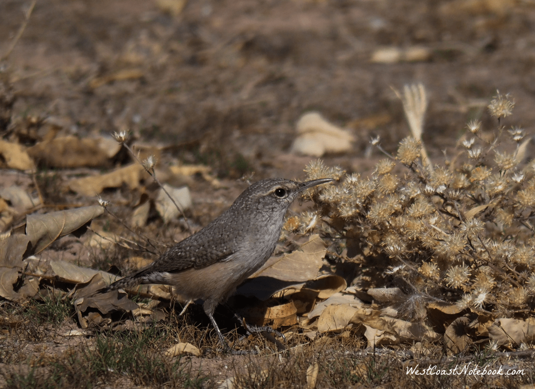 Rock wren in Dead Horse Ranch