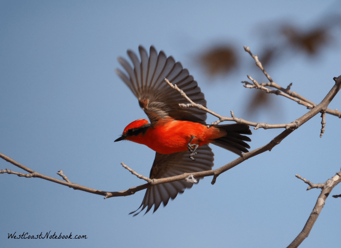 Vermilion flycatcher flying