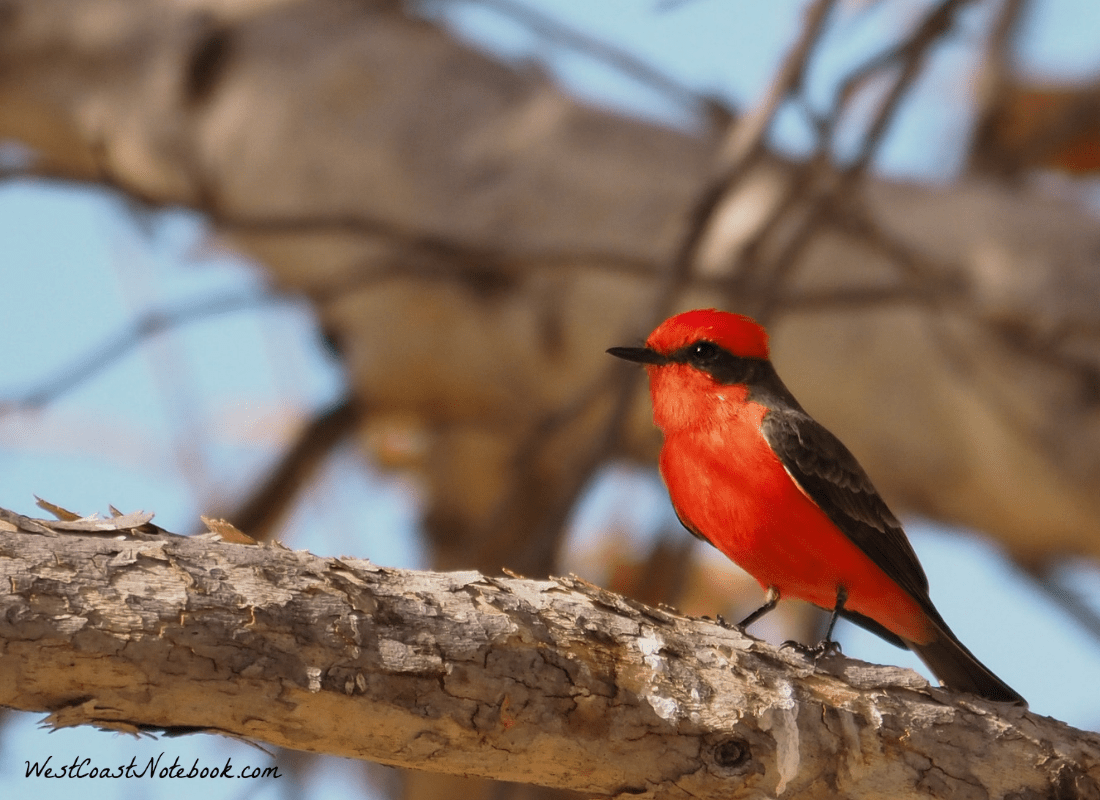 Vermilion flycatcher sitting in tree