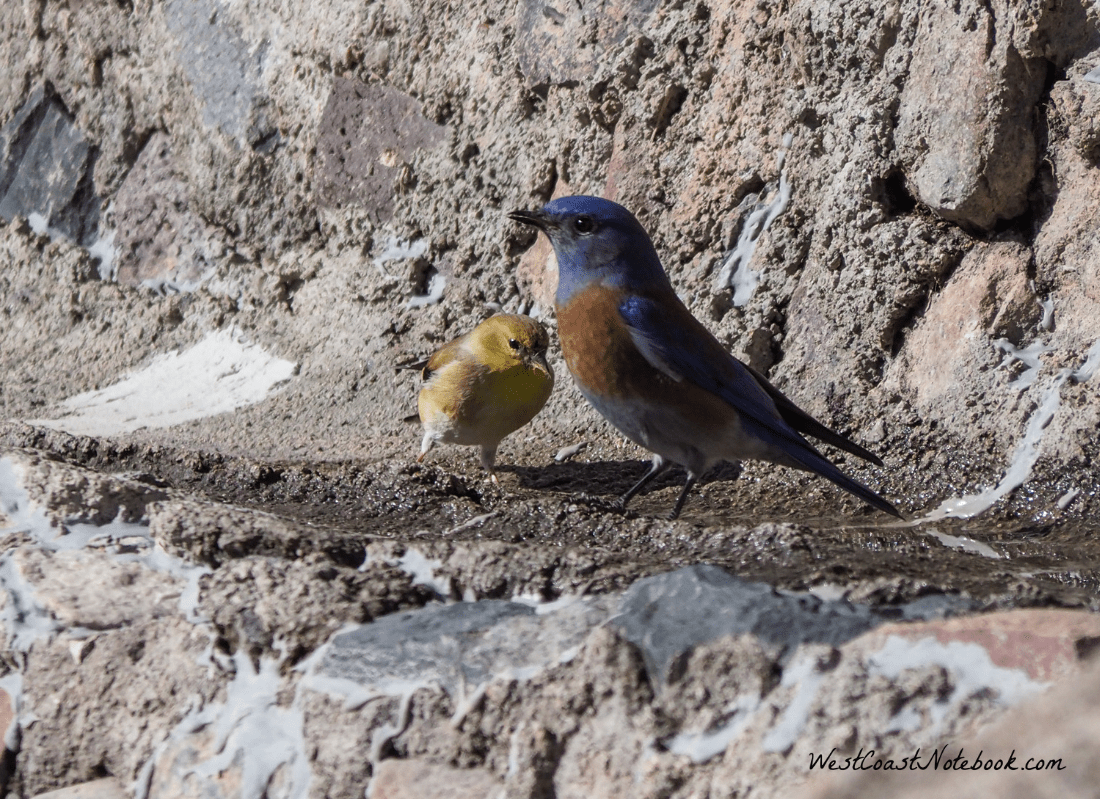 Western bluebird and American goldfinch