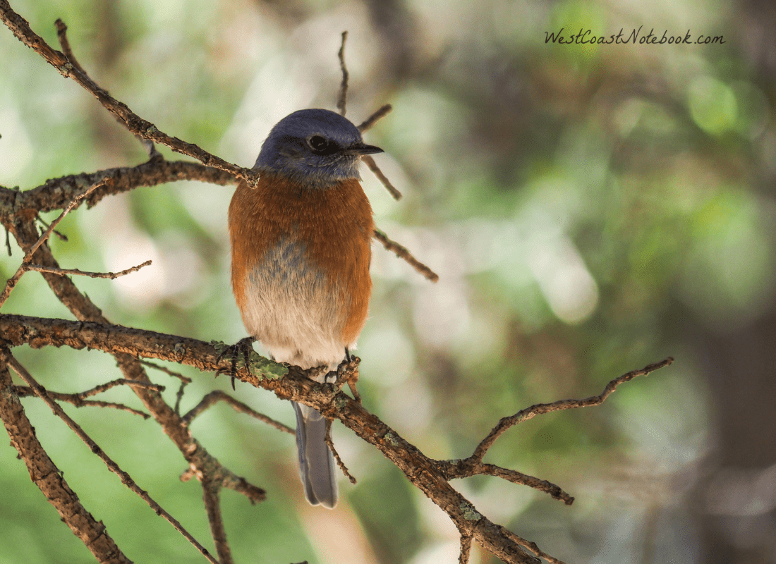Western bluebird sitting in the shade