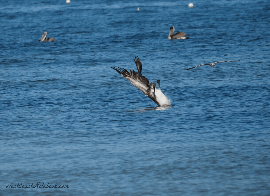 Brown pelican entering the water upside down