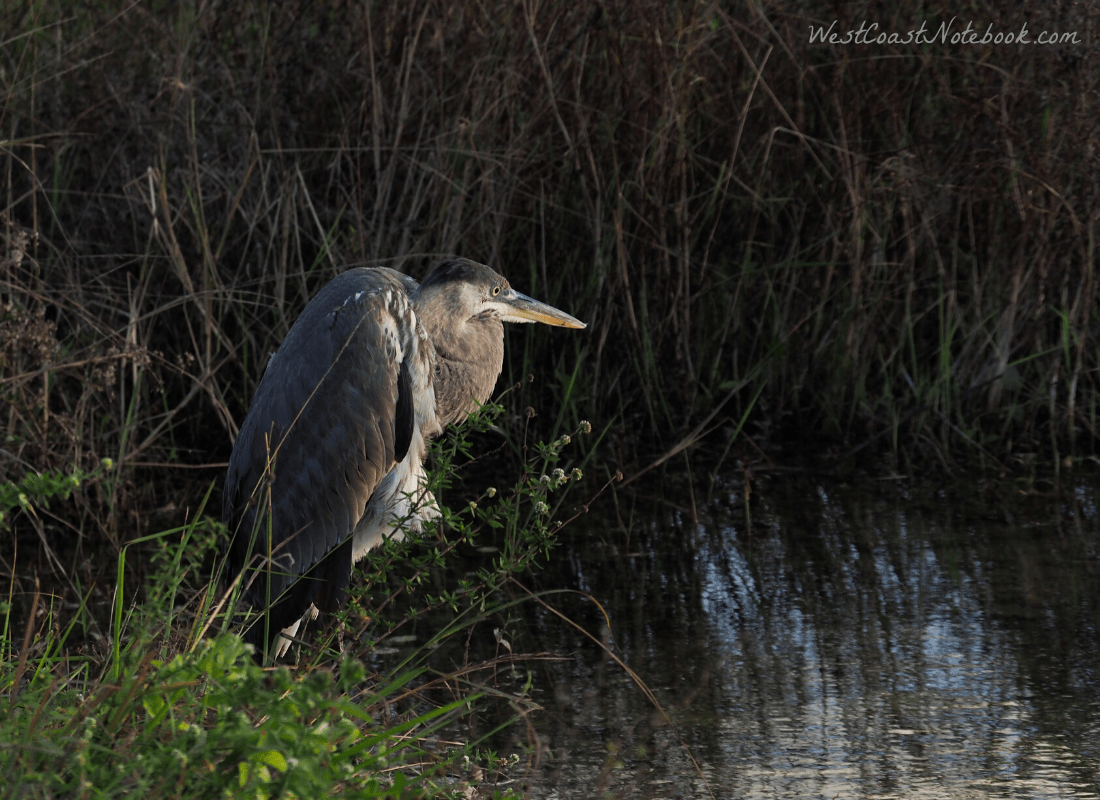 Great-blue heron intent on fishing