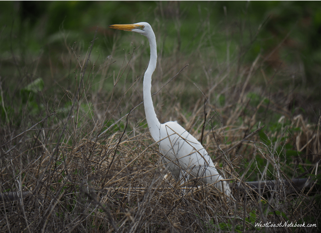 Great egret fishing by the side of the road