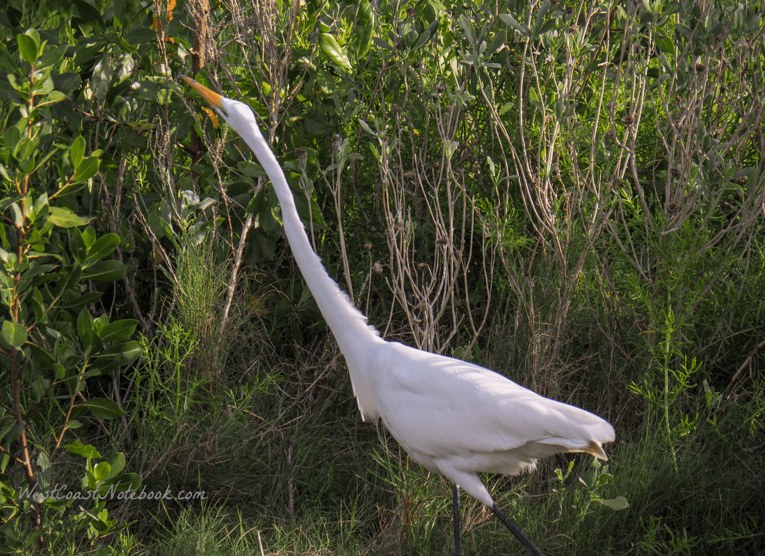 Great egret hunting in trees