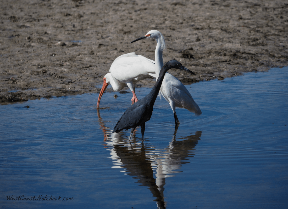 Little blue here, snowy egret, white ibis