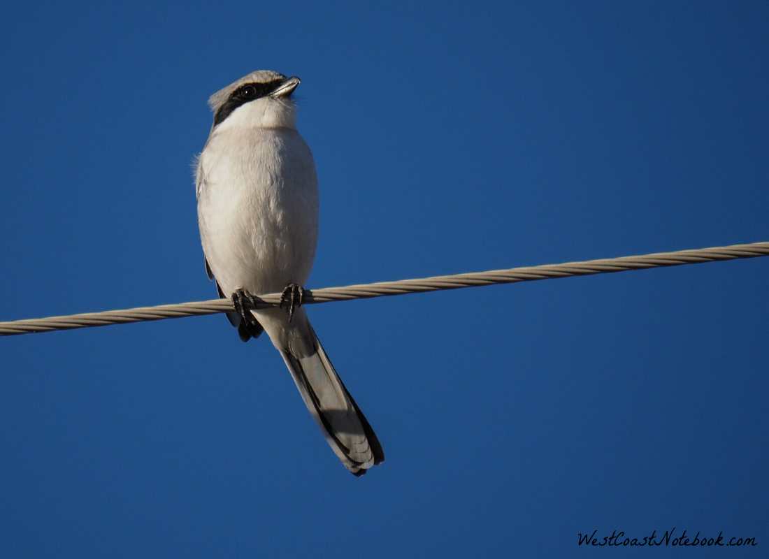 Loggerhead Shrike looking for evening meal