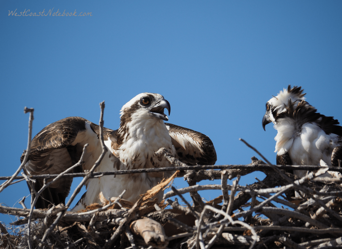 Osprey and mate on nest