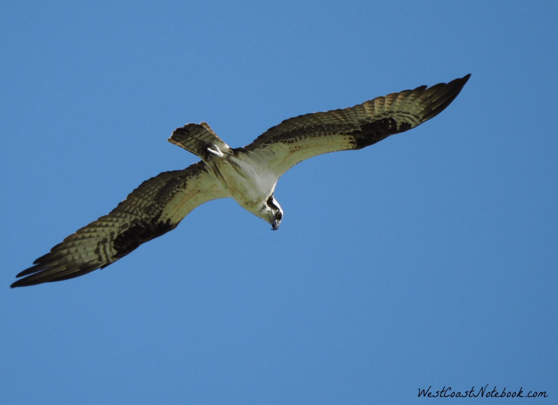 Osprey hovering looking for prey