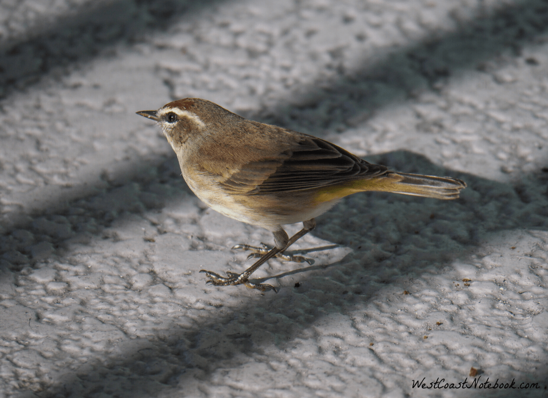 Palm Warbler under a chair at the hotel