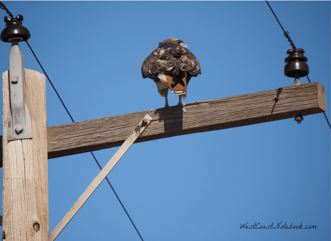 Red-tailed hawk with its back turned