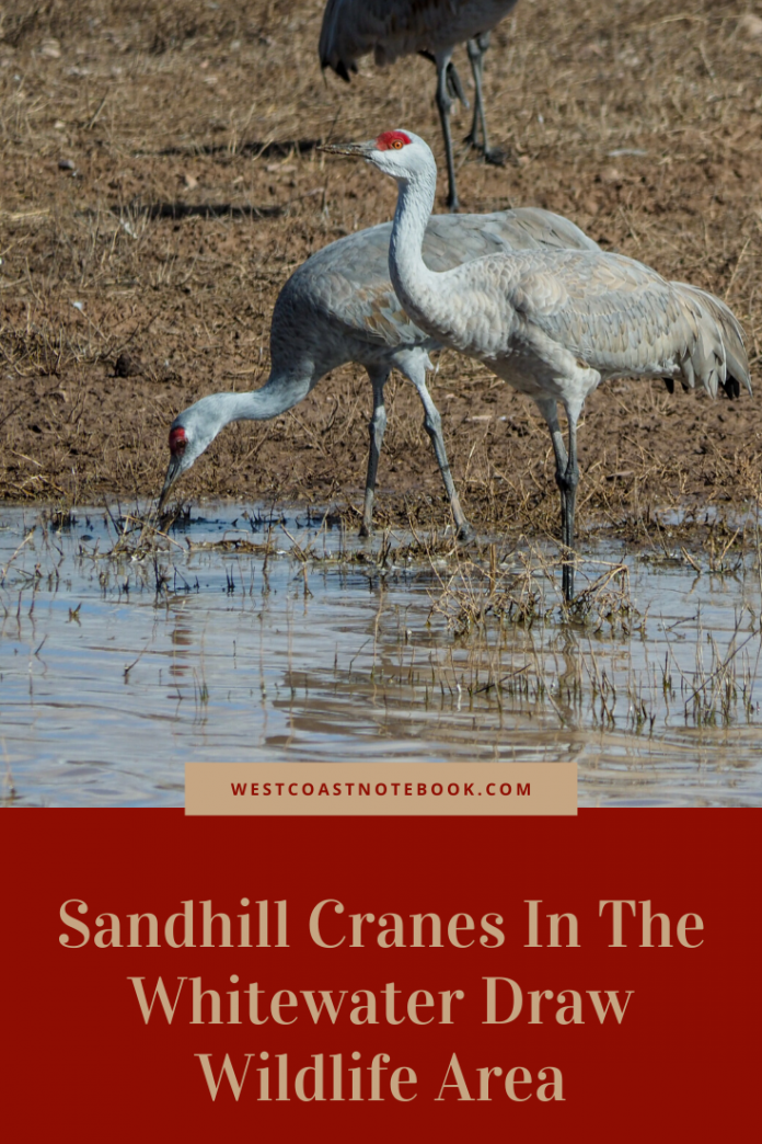 Sandhill Cranes In The Whitewater Draw Wildlife Area