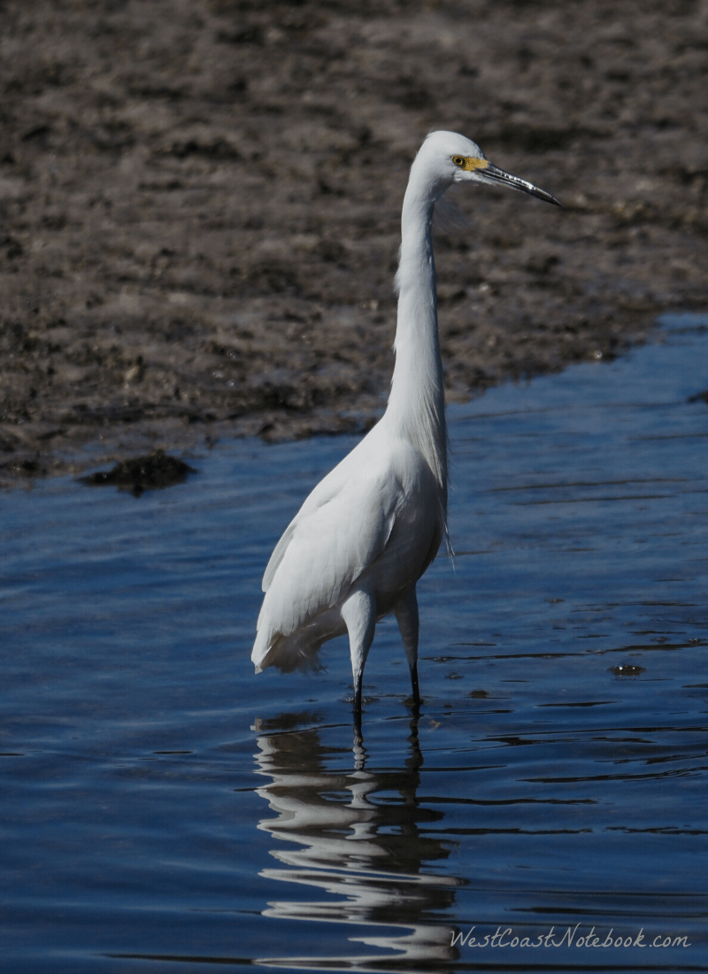 Snowy egret in the Wildlife Refuge