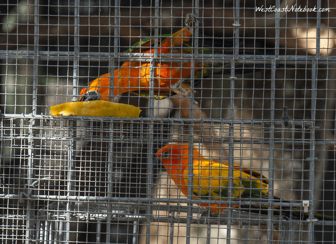Sun Conure eating mango