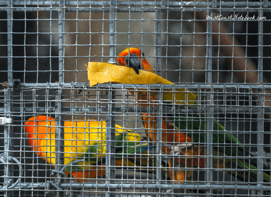 Sun Conure trying to pull a piece of mango through the wire